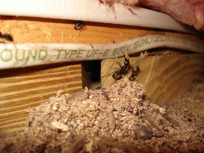 25 Best Ideas About Carpenter Ant Damage On Pinterest