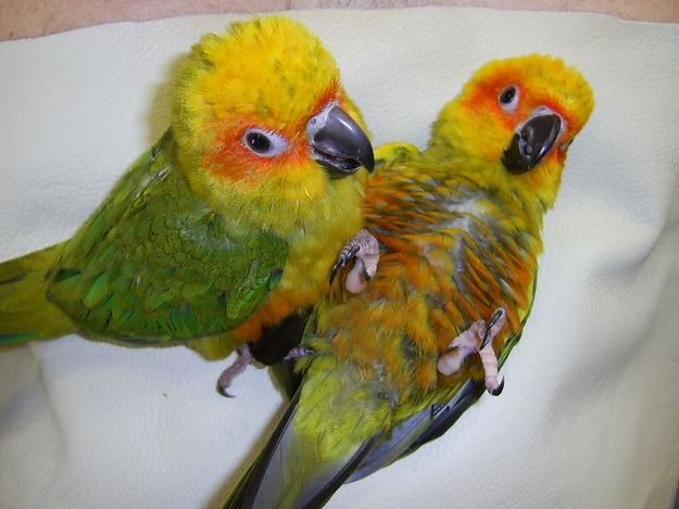 Cute Cockatiel Wallpaper Baby Sun Conures Being Handfed In Lakeland Florida For