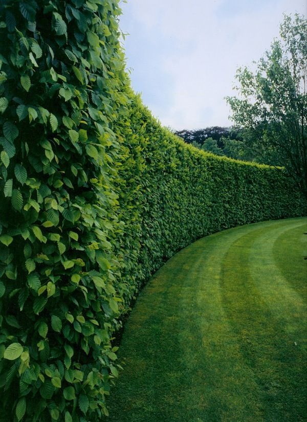 1000+ ideas about Privacy Plants on Pinterest