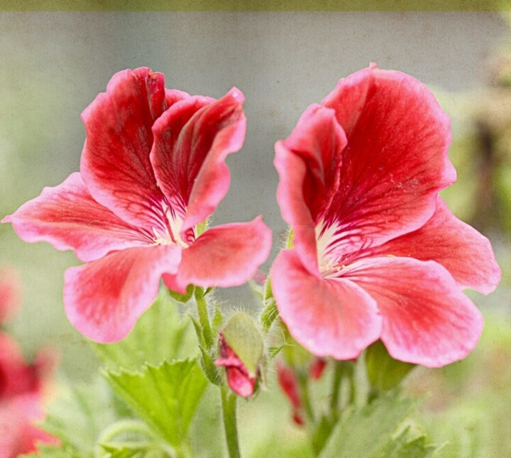 Do Deer Eat Geraniums 87 Best Geraniums Images On Pinterest