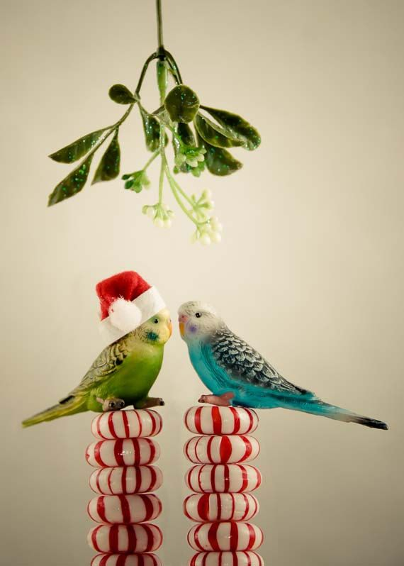 Cute Parakeet Wallpaper Awkward Mistletoe Moments Funny Christmas Card With