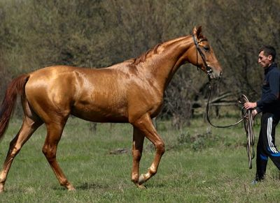17 Best images about Rare Horse Breeds on Pinterest   Spanish, Horses for sale and Saddles