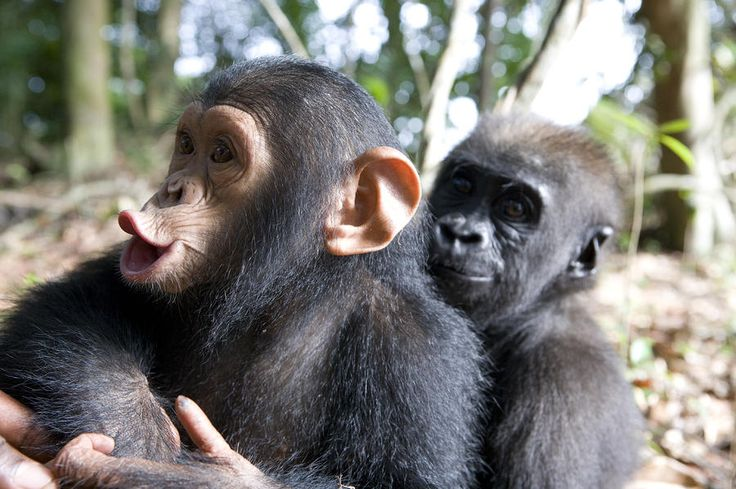 Cute Smiling Babies Wallpapers A Baby Gorilla And A Chimpanzee Hugging Feelings Africa