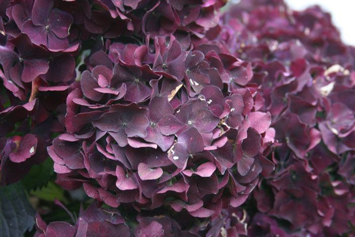 Dark Purple Hydrangea Wine-colored Hydrangeas (my Favorite Flower), Love