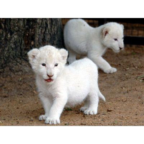 Cute Tiger Cubs Hd Wallpapers 25 Best Images About White Tigers And White Panthers On