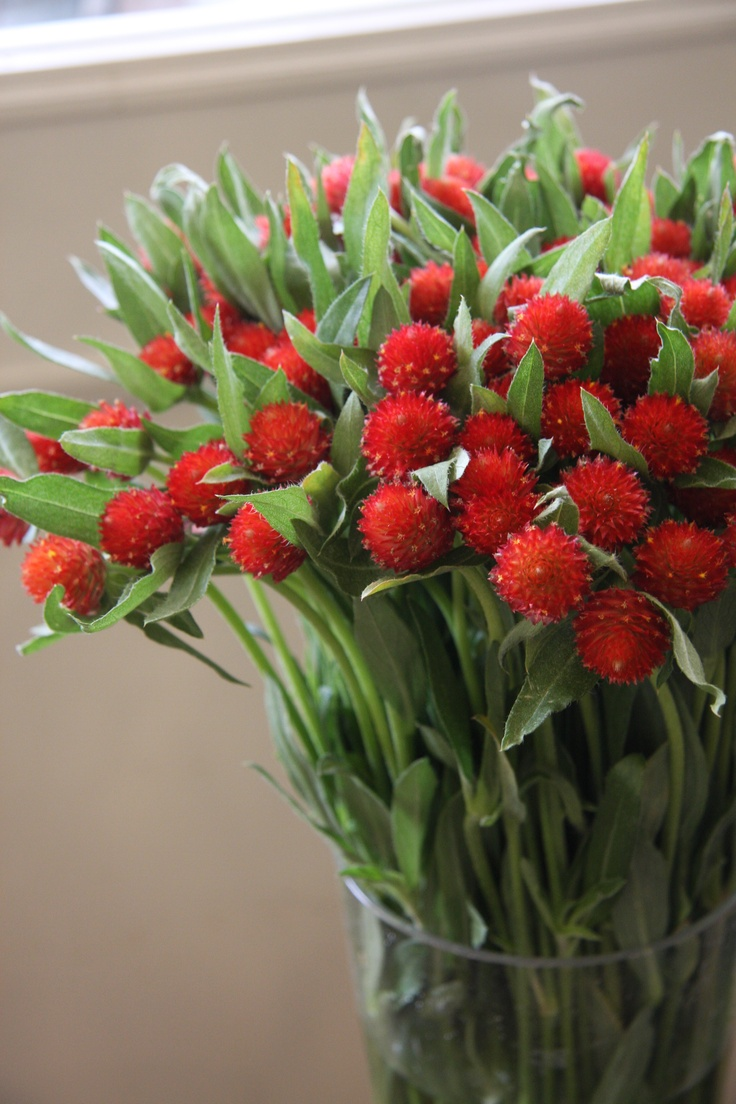 Chinese Wholesale Products Gomphrena Globosa Flowers 4 Pinterest Red