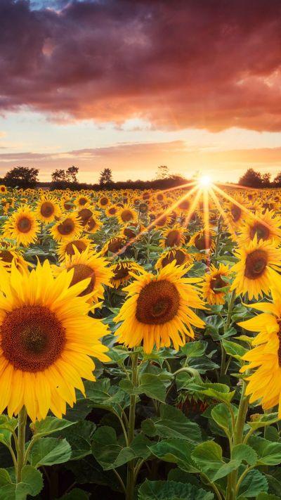 Sunflowers Bavaria Germany #iPhone #6 #plus #Wallpaper | iPhone 6 Wallpapers | Pinterest ...