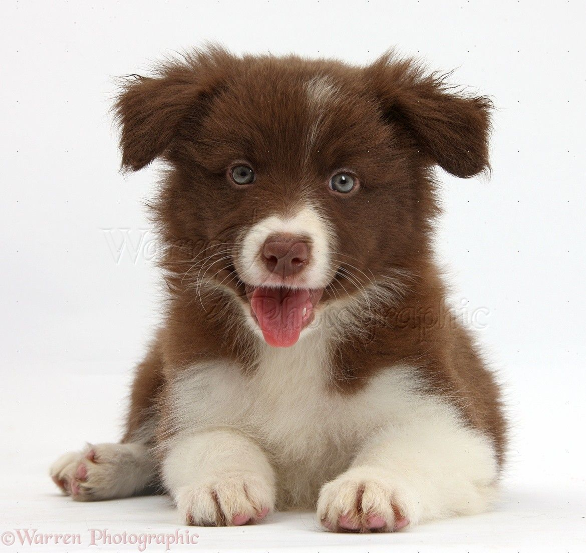 Cute White Kittens With Blue Eyes Wallpaper Brown Border Collie Pup Www Imgkid Com The Image Kid