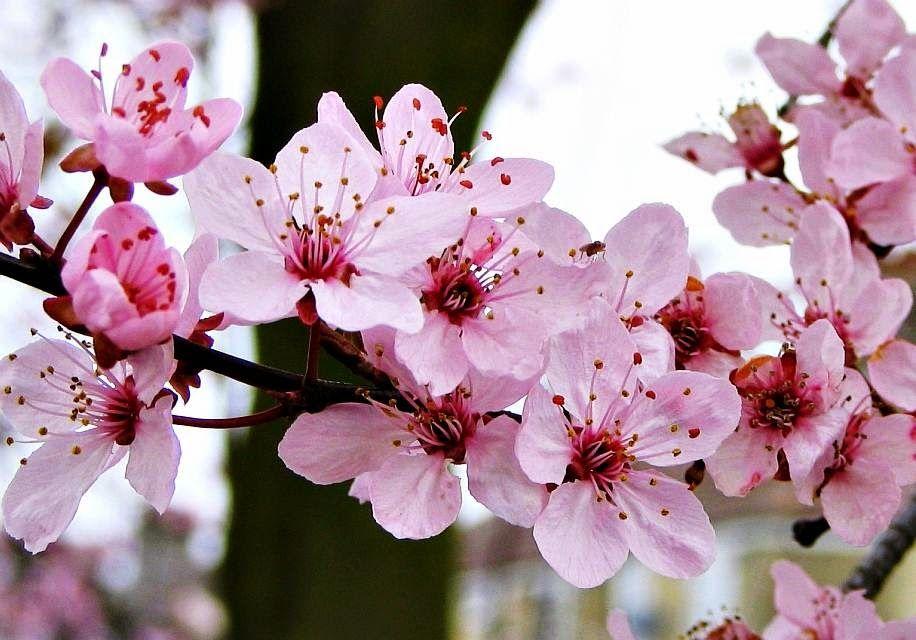 Cute Wallpaper Phone Case Gambar Wallpaper Bunga Sakura Jepang Cantik Caption Ig