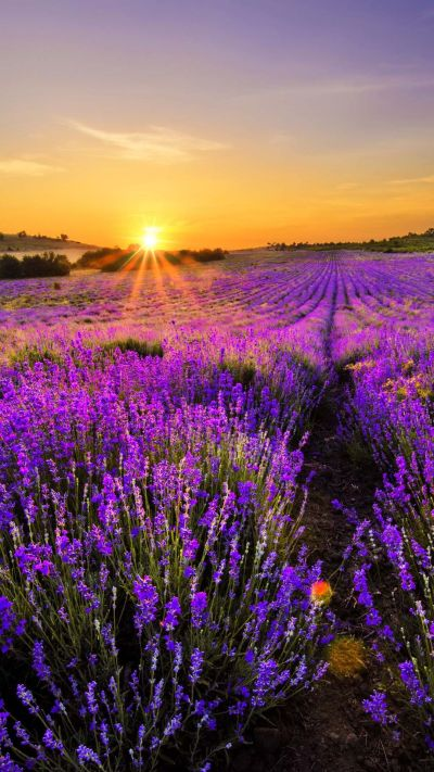 65 NATURAL IPHONE WALLPAPERS FOR THE NATURE LOVERS | Lavender, Wallpaper and Landscaping
