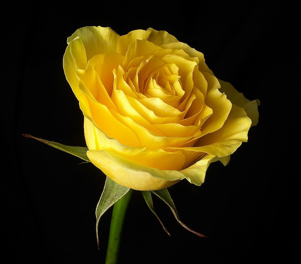 Abstract beautiful yellow rose on black background
