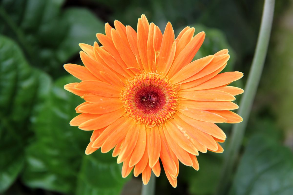 Gerbera Flower Bengali Meaning Do You Know That Gerbera (daisy) Flowers Leaves Are Edible