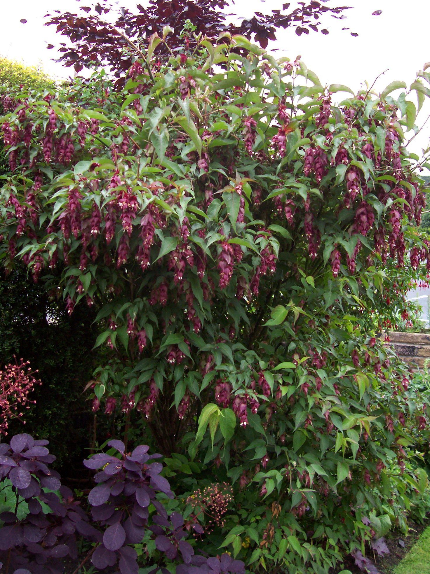 Cool Looking Plants Leycesteria Formosa A Very Unusual Looking Shrub And