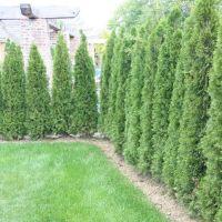 Arborvitae Fence | www.pixshark.com - Images Galleries ...