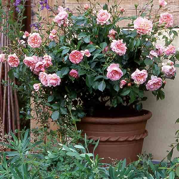 78+ Images About Rosen Im Kübel On Pinterest | Planters, Pink