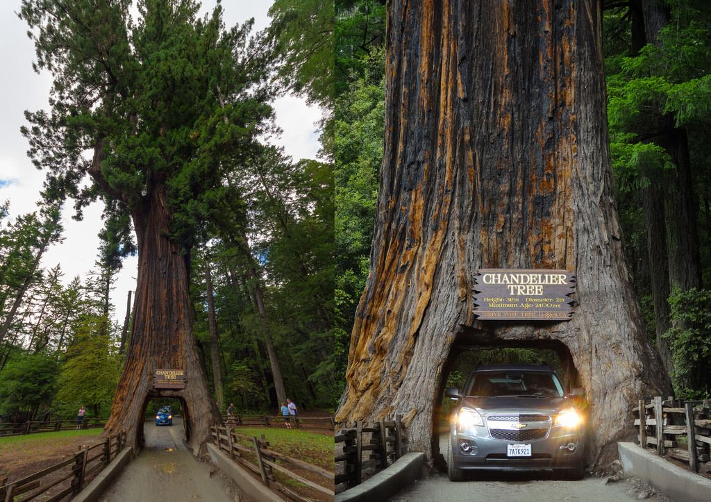 Yosemite Falls Wallpaper Sequoia Sempervirens Botanics Conifers Pinterest