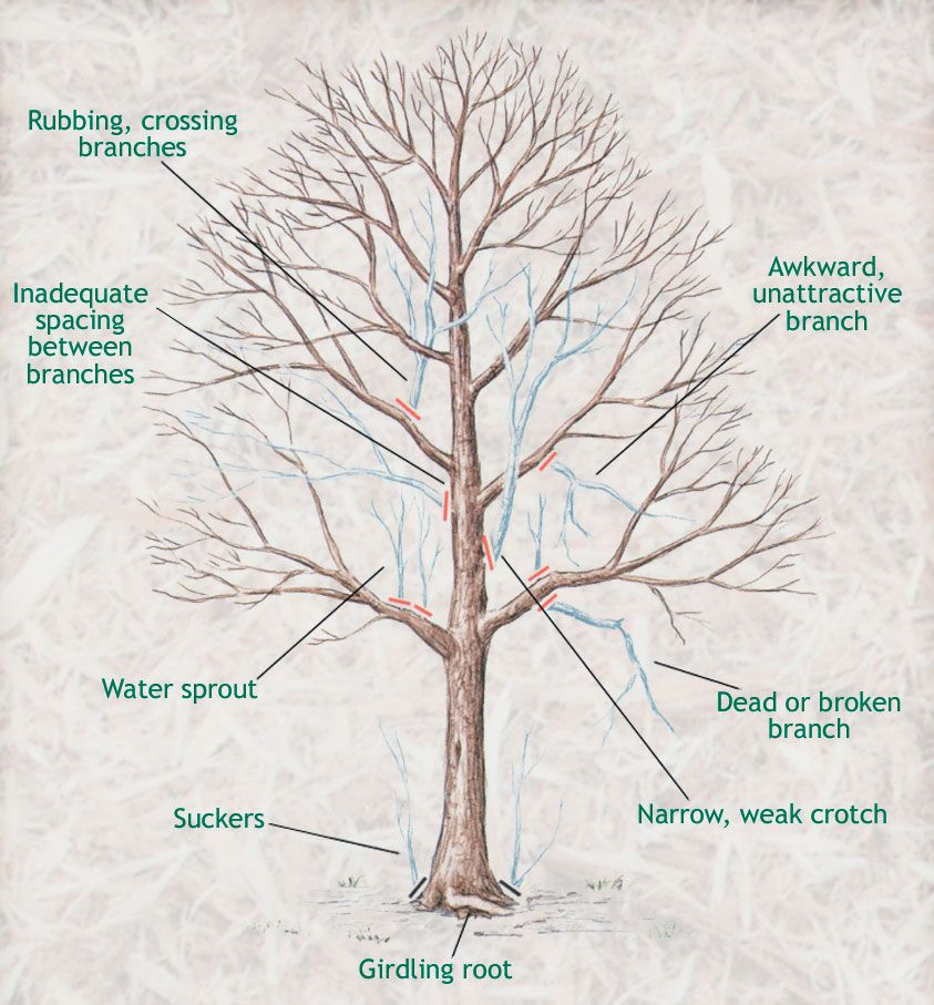 1000+ Images About Trees On Pinterest | Trees And Shrubs, Remedies