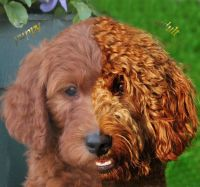 Goldendoodle Wavy Coat | ... Know! About Goldendoodles ...