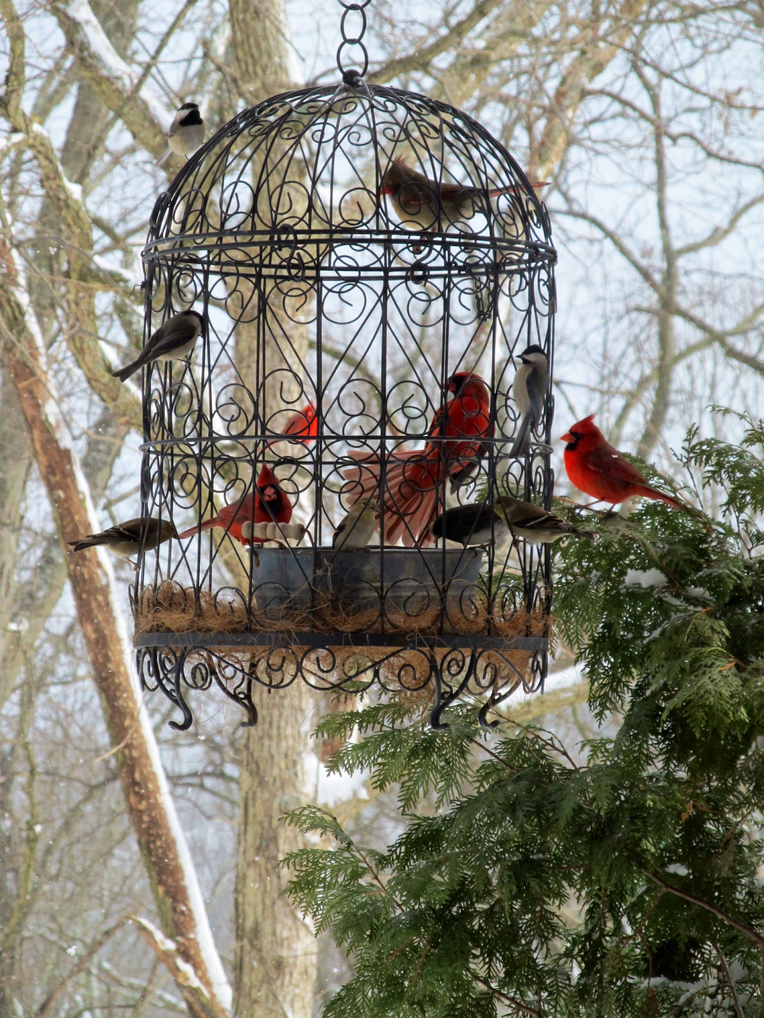 Diy Bird Feeder Cage Love Our Beautiful Cardinals What A Beautiful Bird