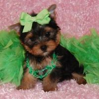 clothes for yorkie puppy | ... and Female Yorkie puppies ...