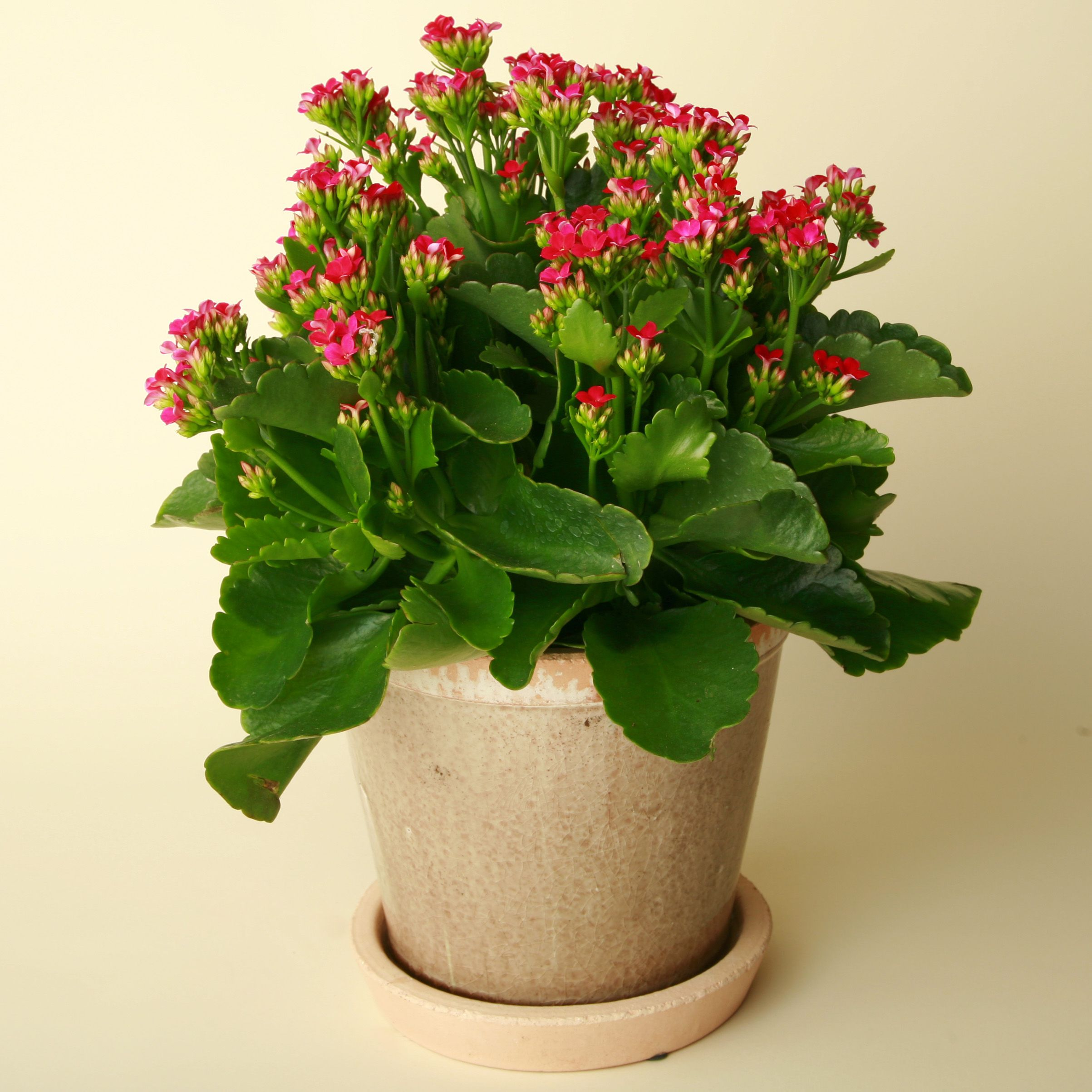 Indoor Plants And Flowers Kalanşo Kalanchoe Flowers Plants And Cacti