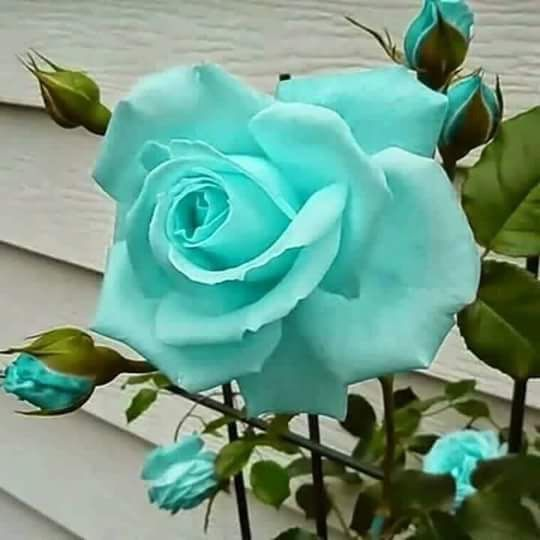Really Cute Teal Teal Wallpaper Green And Blue Roses Www Pixshark Com Images Galleries