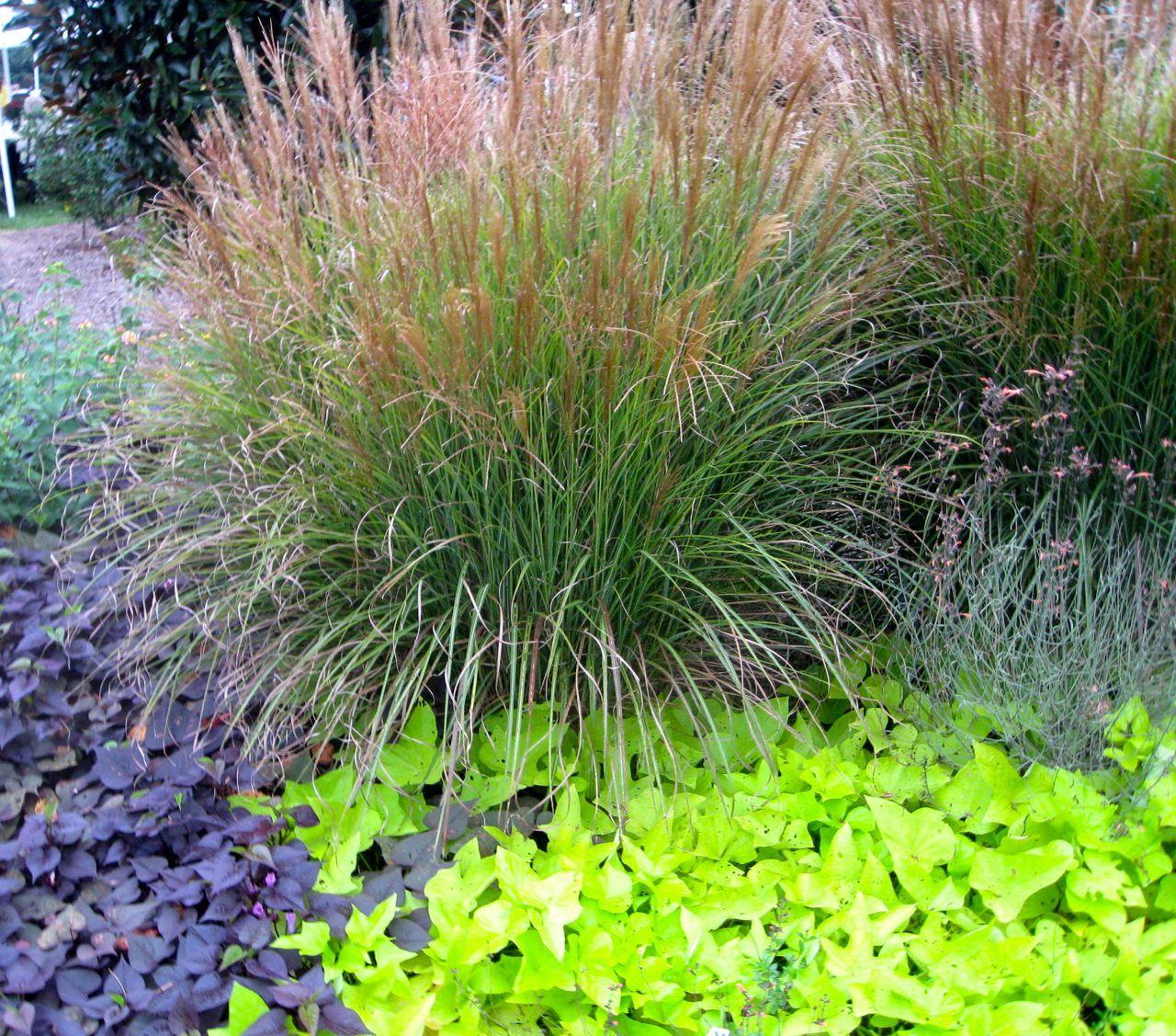 Ornamental grasses ornamental grass and sweet potato vine