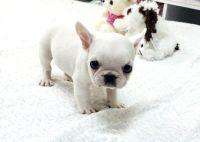 Teacup French Bulldog Puppy | Cuteness Alert! | Pinterest ...