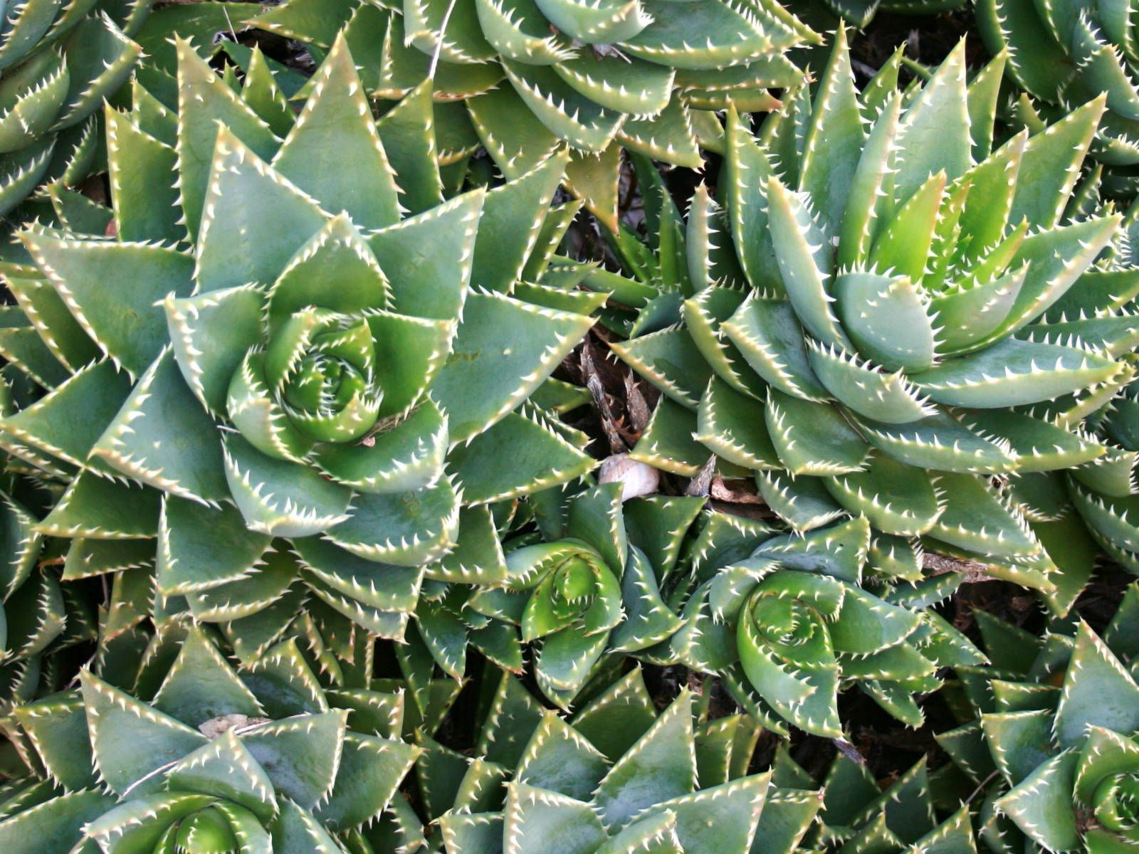 Inside Plants Aloe Perfoliata Rubble Aloe Mitre Aloe Plant