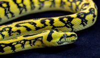 Jungle Jaguar Carpet Python - Carpet Vidalondon