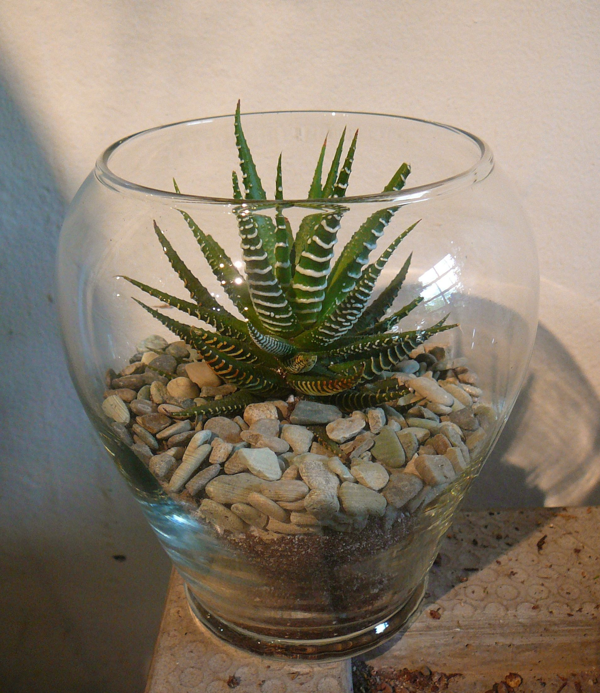 Inside Plants Haworthia Attenuata Zebra Plant Plants Terraria And