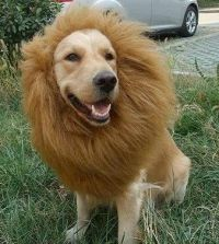 Lion Mane Dog costume. If Boudreaux and Gunnar made ...