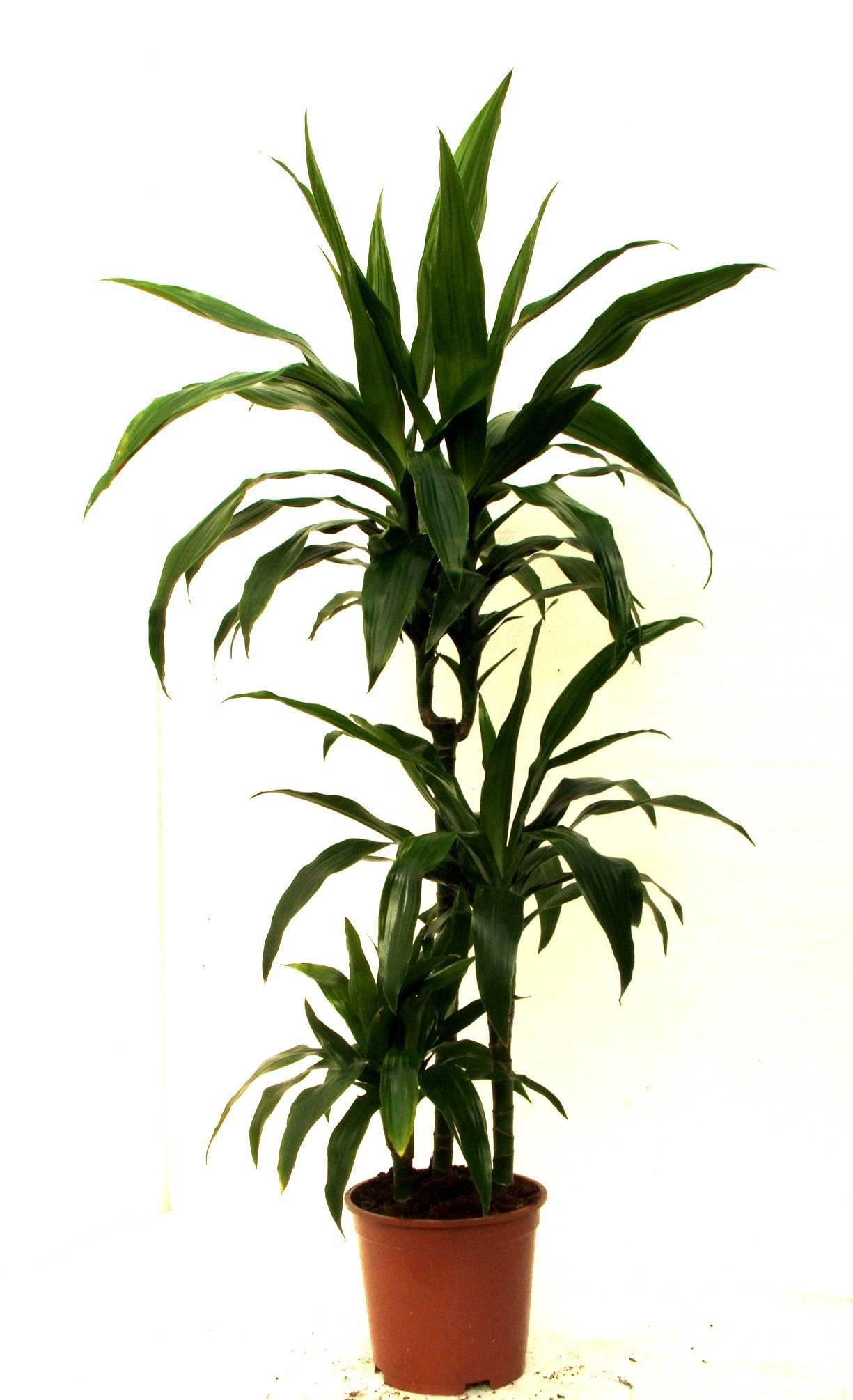 Tall Indoor Plants With Big Leaves Dracaena Deremensis 39 Janet Craig 39 Eco Friendly House
