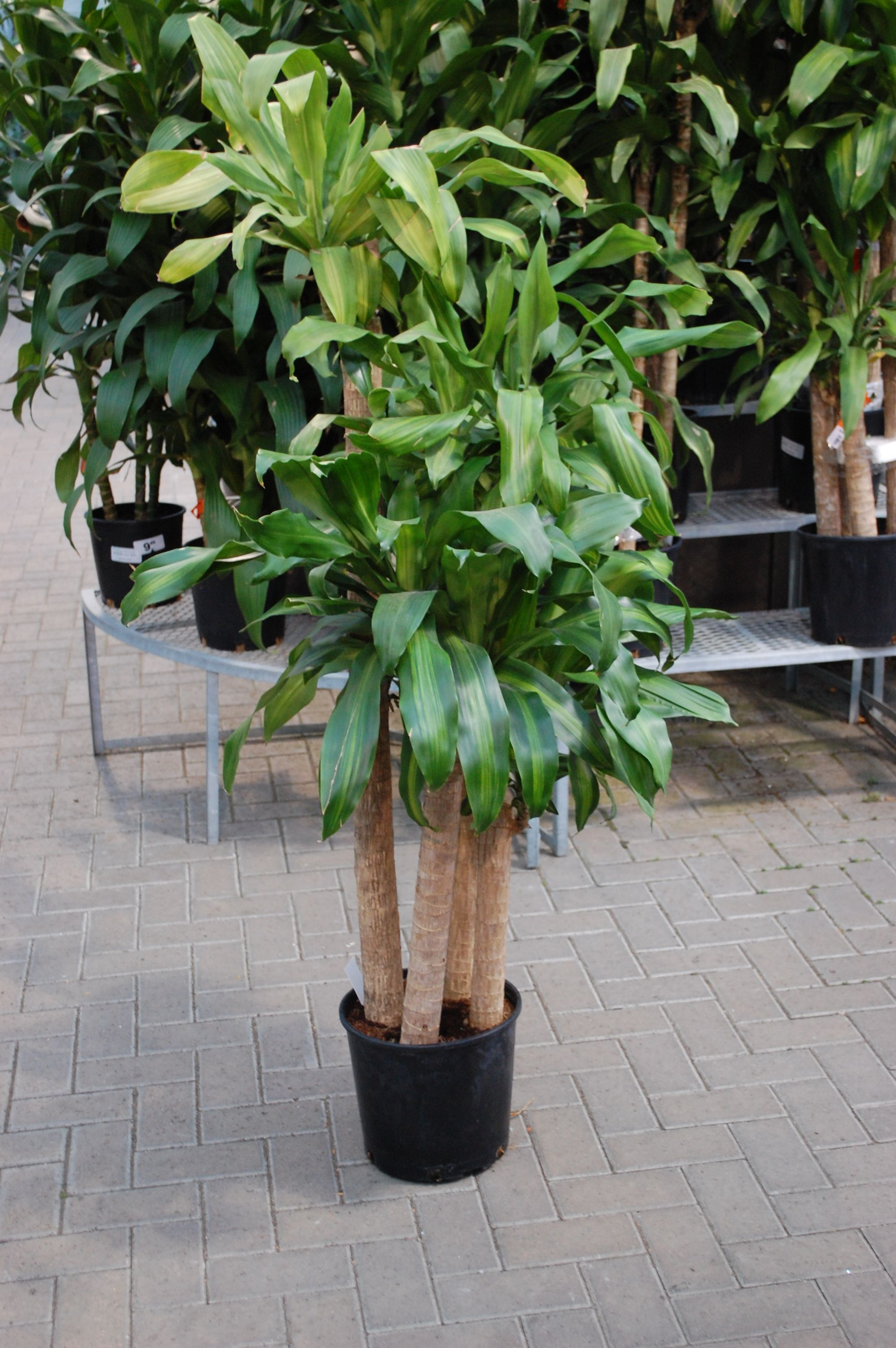 Good Large House Plants A Great House Plant For Large Foliage Visit Us For