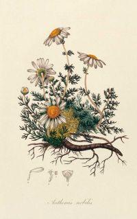 [ Botanical Print: Chamomile ]   [ herb - botanical prints ...