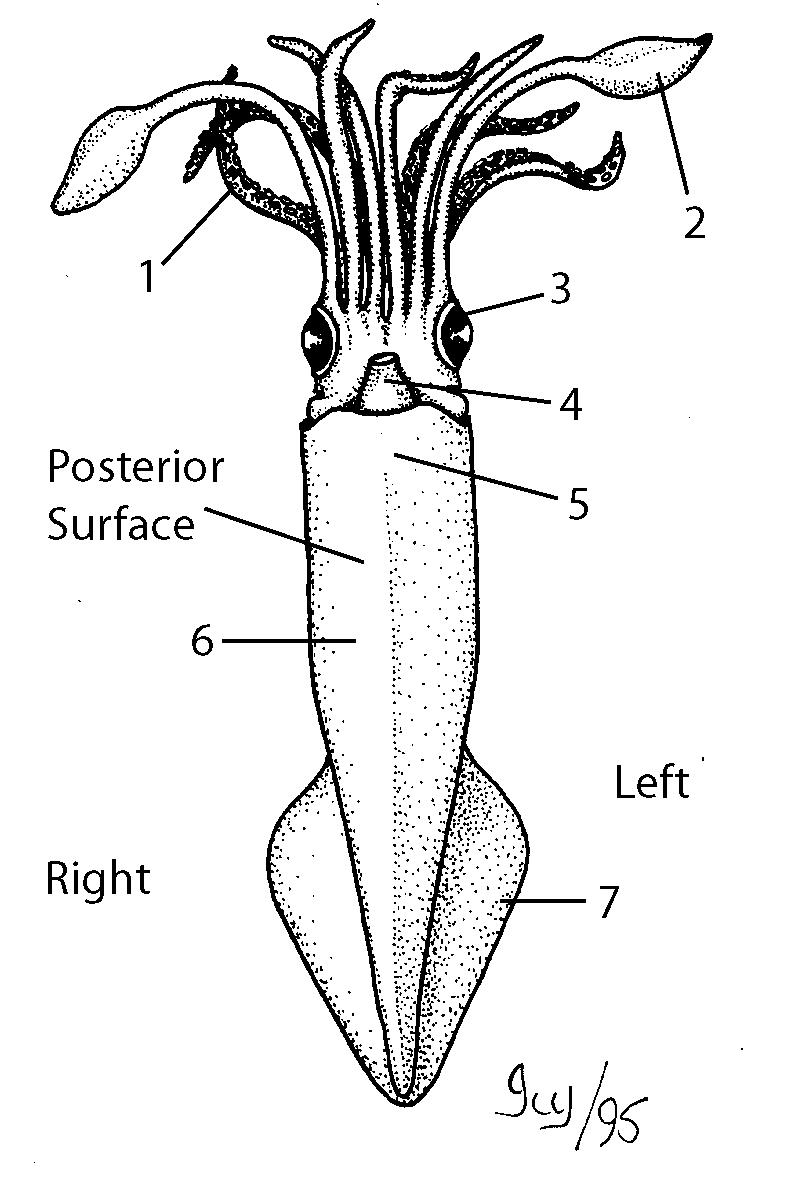 pin squid anatomy diagram on pinterest