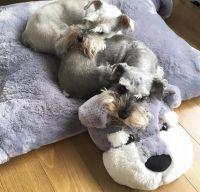 Miniature Schnauzer - Smart and Obedient | Pillows ...
