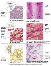 Human Tissue | Biology Pictures: Connective Tissue Cells ...