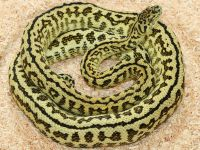Super Zebra Carpet Python - Carpet Vidalondon