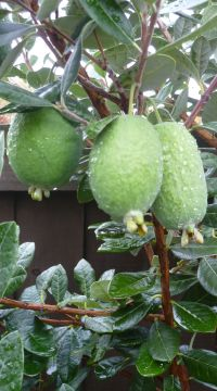 The Feijoa - fruit from New Zealand | Fruit trees | Pinterest