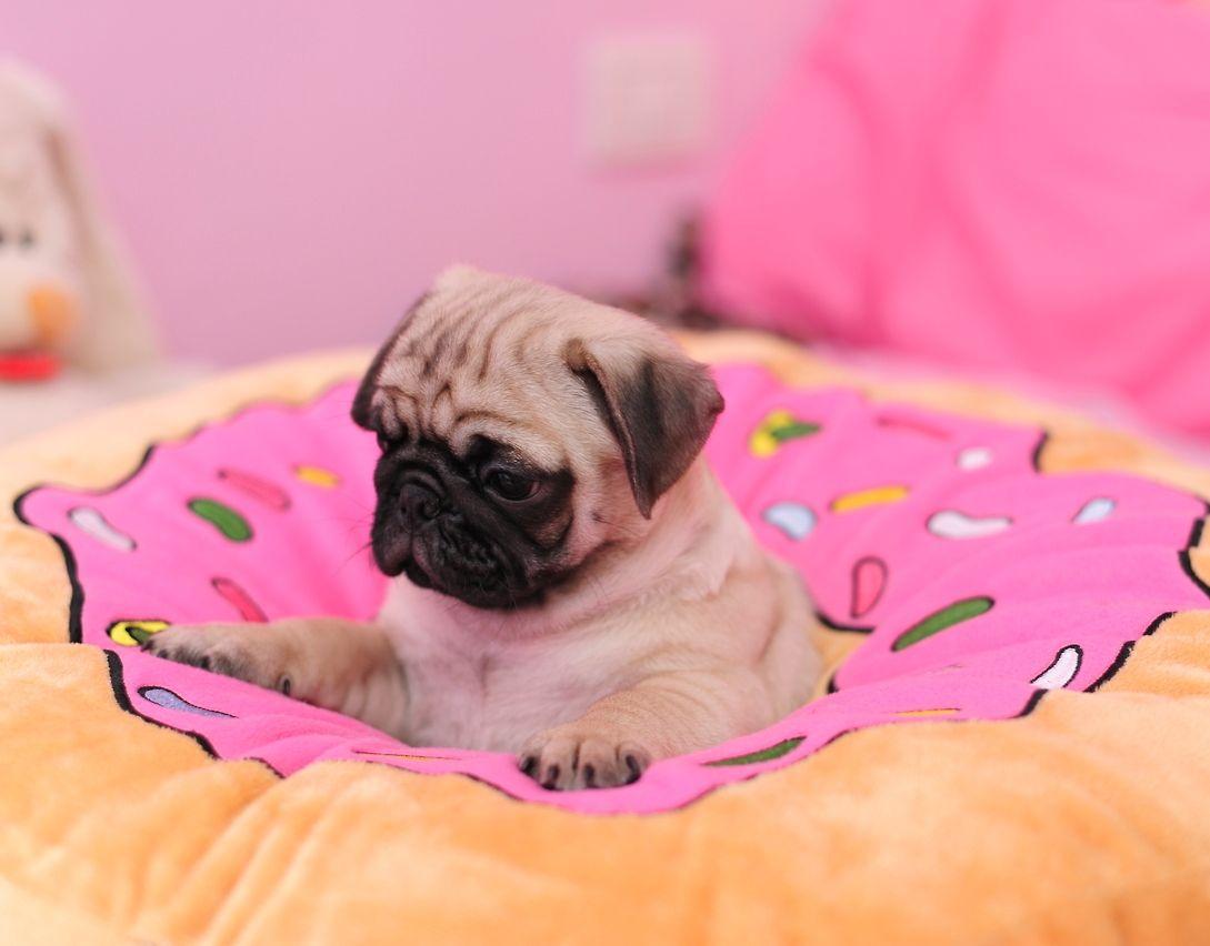 Cute Little Puppies Wallpapers Cute Pug Puppy Cute Pug Puppies Pinterest Pug