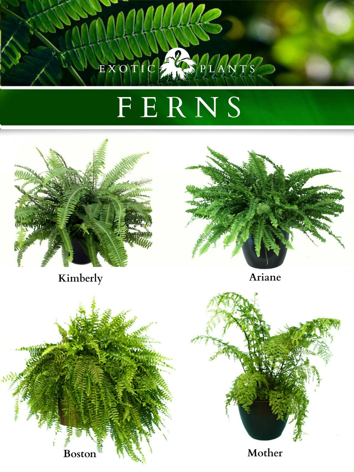 Indoor Plants And Flowers Four Varieties Of Common Ferns Karachi Plants And Flowers