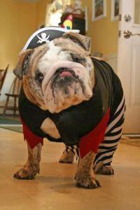 ENGLISH BULLDOG | My Bulldog Obsession | Pinterest ...