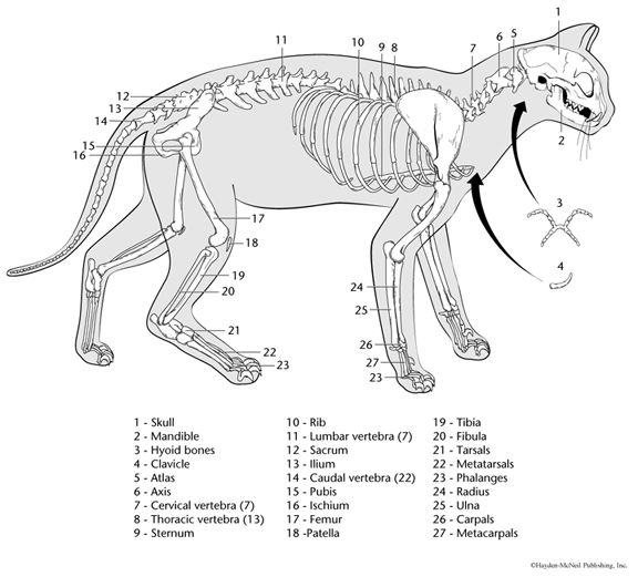 rodent skeleton diagram by the axial skeleton