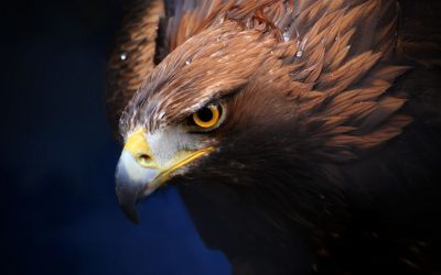 #Golden #Eagle #wallpaper #background #widescreen for #iphone #android #pc #GoldenEagle ...