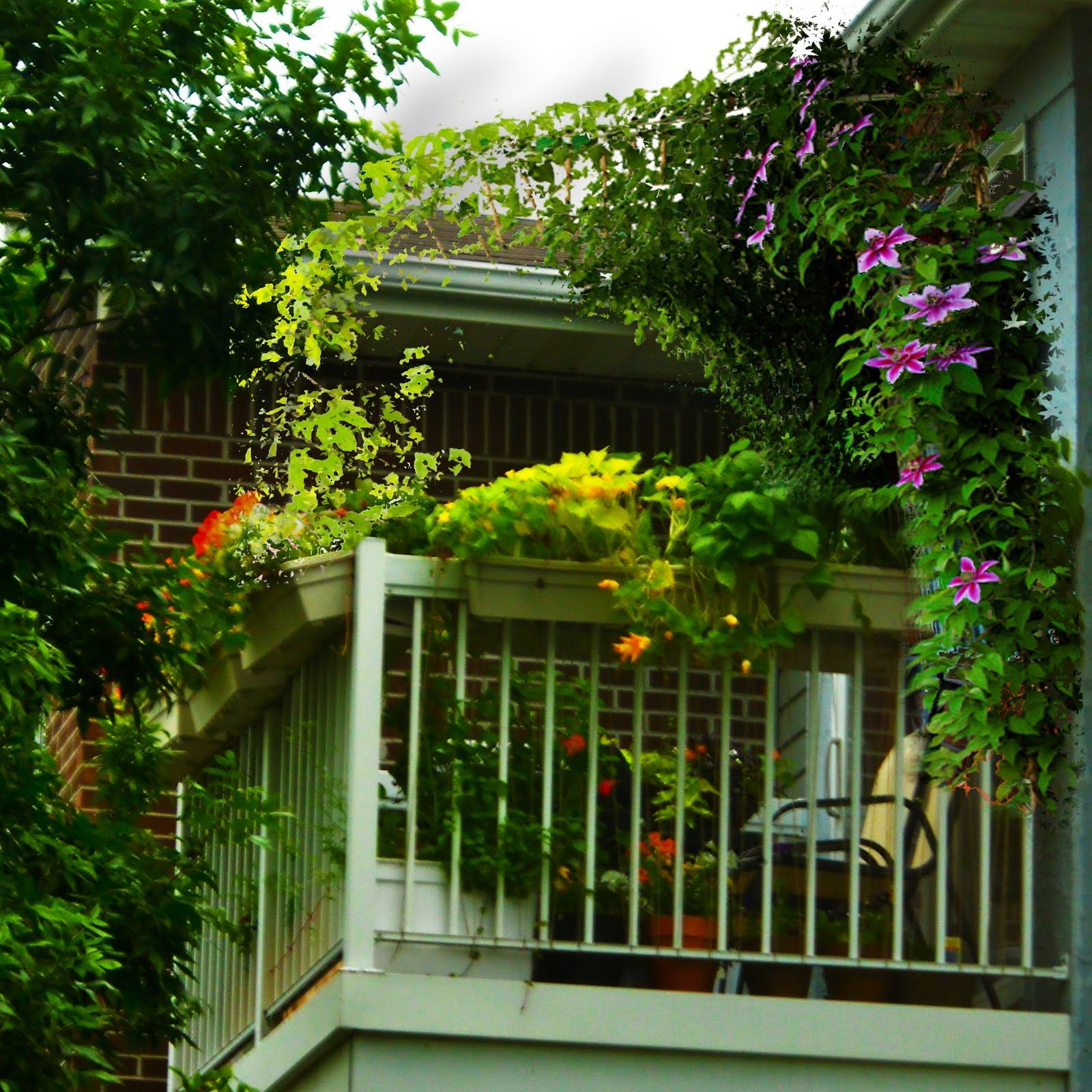 Balcony Privacy Plants The 6x8 Garden Balcony Garden Inspiration Clematis