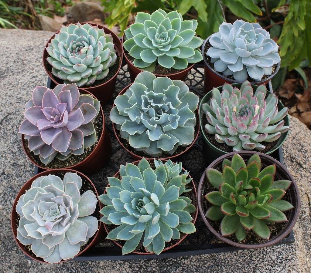 Succulent Planters Wholesale 6 Quot Echeveria Succulent Wholesale Succulents Plants And