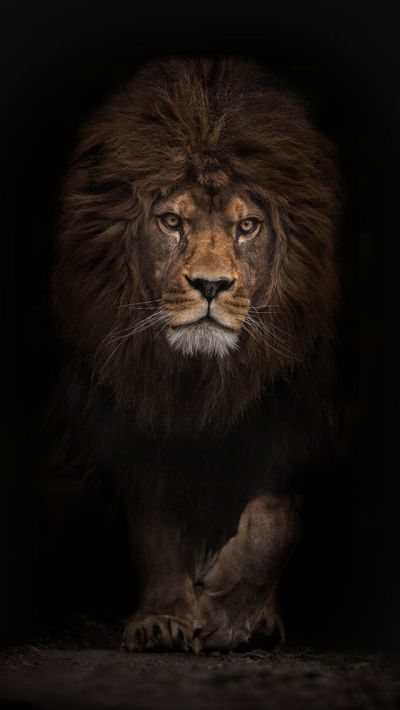 iphone backgrounds hd - Google Search | Into The Wild | Pinterest | Lions, Animal and Lion wallpaper
