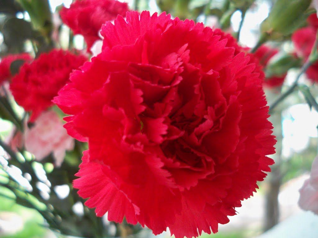 Vegetable Garden In Fall Wallpaper Ohio S State Flower Red Carnation Oh Io Pinterest