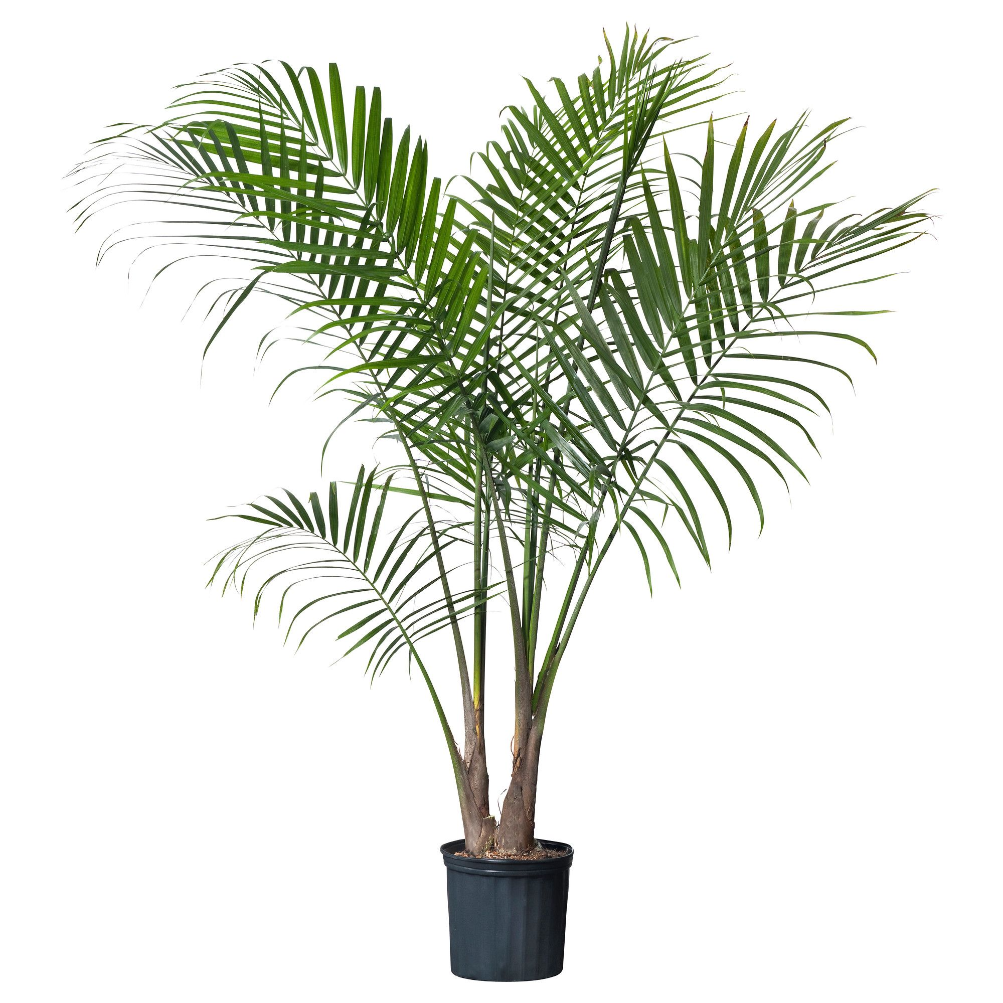 Ikea Planters Large Ravenea Potted Plant Majesty Palm Palm Plants Plants